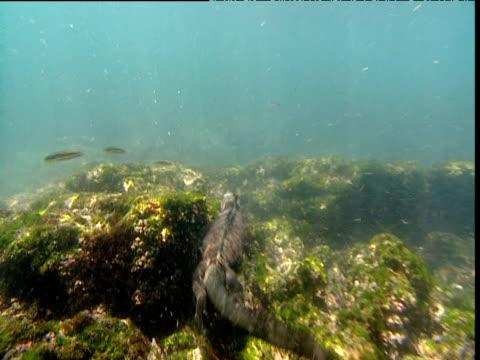 Marine iguana swims away from camera, Galapagos