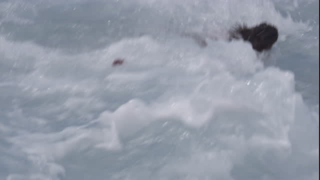 A marine iguana swims in the surf. Available in HD.