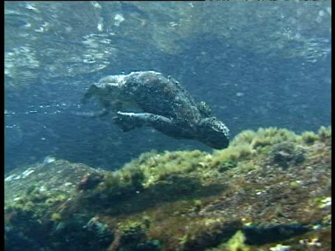 Marine iguana swims past, Galapagos Islands