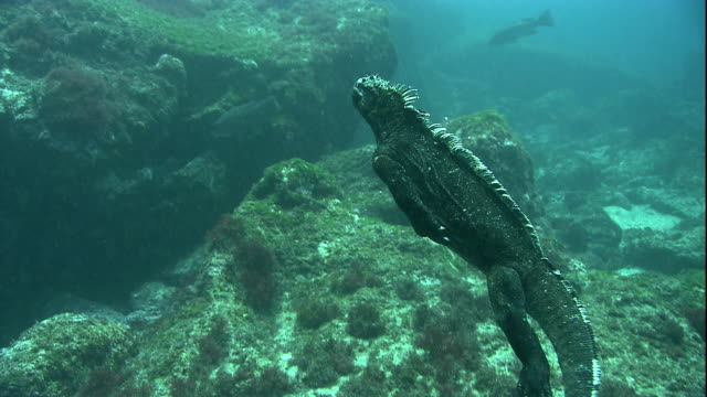 A Marine iguana swims to algae-covered underwater boulders to forage. Available in HD.