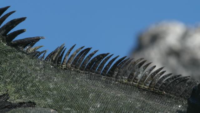vídeos y material grabado en eventos de stock de marine iguana - punta descripción física