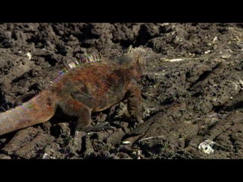 vídeos de stock e filmes b-roll de marine iguana (amblyrhynchus cristatus) walking on rocks / galapagos islands - formato letterbox