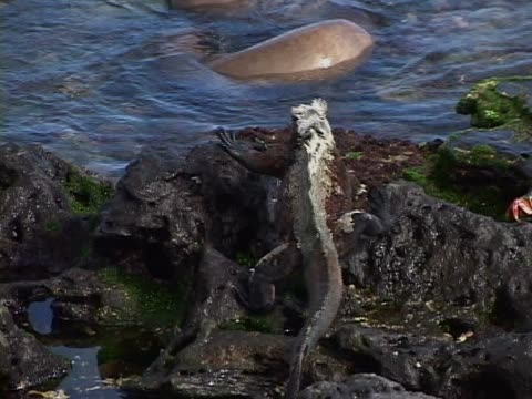 marine iguana walking on rocks - aquatic organism stock videos & royalty-free footage
