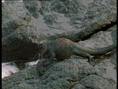 marine iguana walks along rocky coast, galapagos - stil der 2000er jahre stock-videos und b-roll-filmmaterial