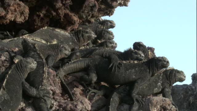 vidéos et rushes de marine iguanas (amblyrynchus cristatus) bask on rocky coast, galapagos islands - claw