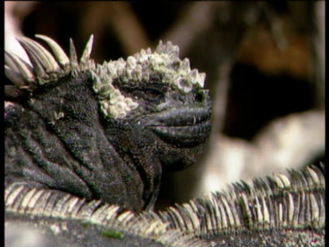 marine iguanas basking in sun spray salt from nostrils. - galapagos islands stock videos & royalty-free footage