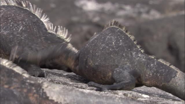 Marine iguanas fight, Fernandina, Galapagos Islands Available in HD.