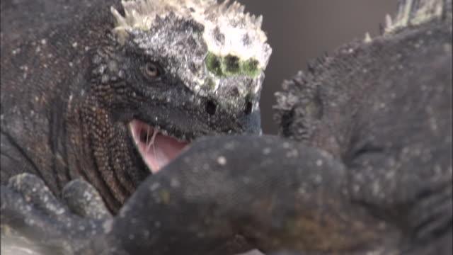 Marine iguanas head bobbing display, Fernandina, Galapagos Islands Available in HD.
