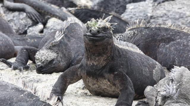Marine Iguanas on Fernandina