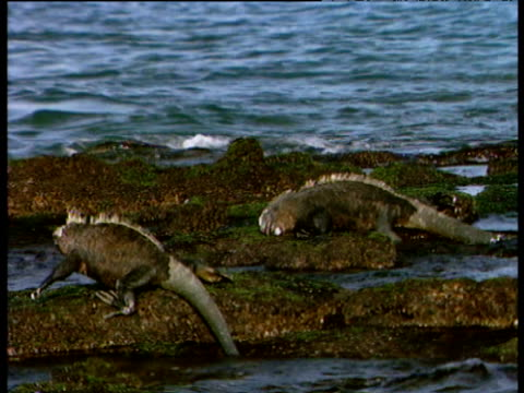 marine iguanas on rocks feeding on algae as tide comes in - apparato digerente animale video stock e b–roll