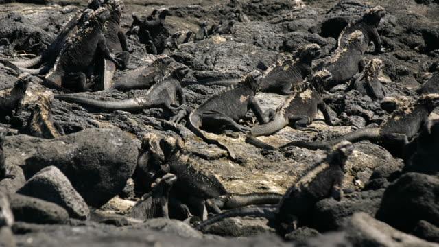 MS Marine Iguanas (Amblyrhynchus cristatus) on rocks, Punta Espinosa, Galapagos Islands, Ecuador