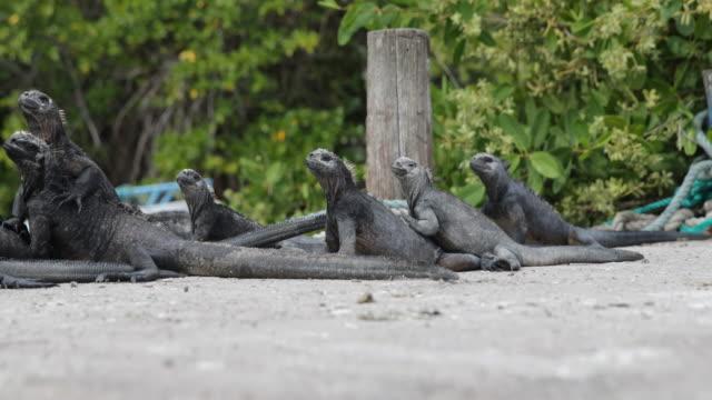 Marine Iguanas on the quay, Santa Cruz, Galápagos, Ecuador