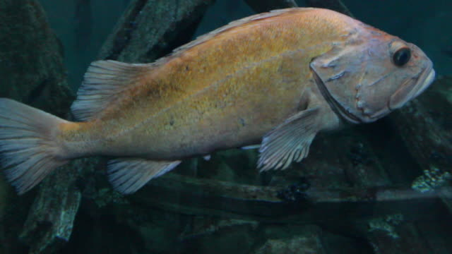 vídeos y material grabado en eventos de stock de marine life in aquarium - lábrido
