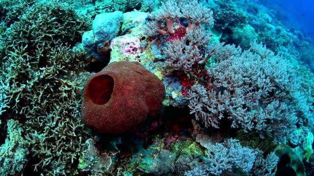 vídeos y material grabado en eventos de stock de marine life on healthy coral reef in wakatobi national park, indonesia. - esponja