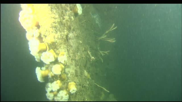 stockvideo's en b-roll-footage met marine organisms cover the sunken wreckage of the steamer portland. - rankpootkreeft