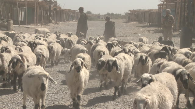 a marine walks behind a herd of sheep headed to market. - provinz helmand stock-videos und b-roll-filmmaterial