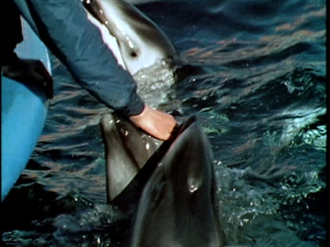 vidéos et rushes de 1970 cu td marineland of the pacific employee petting noses of dolphins, los angeles, california, usa, audio - homme soumis