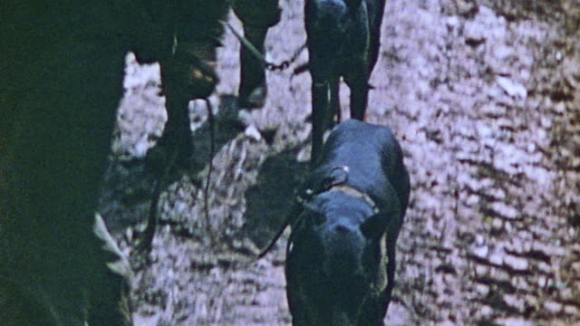 marines walking along road with leashed k-9 dogs, and traveling through bombed out jungle landscape to injured soldier lying on cot in tent with... - pacific war video stock e b–roll