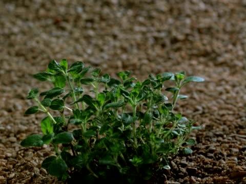 t/l - marjoram plant growing and wilting, gravel background - しおれている点の映像素材/bロール