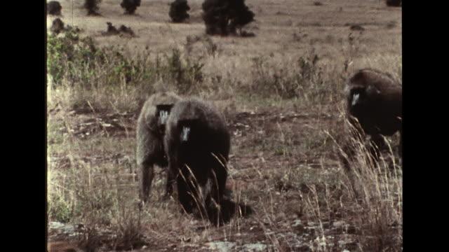 mark & brash walking tightly together, defense pairing, w/ kula behind. primates, hierarchy, rank, ranking. - hierarchy stock videos & royalty-free footage