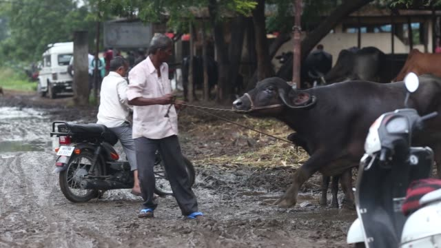 market committee wholesale market in dhule district maharashtra india on tuesday oct 10 a vendor guides a water buffalo and a calf on a leash during... - maharashtra stock-videos und b-roll-filmmaterial