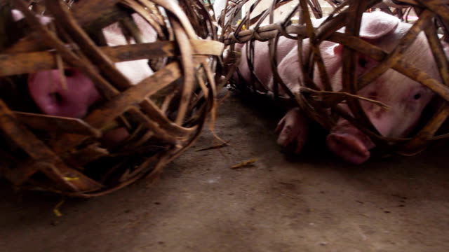 stockvideo's en b-roll-footage met market pigs in tight cages - dierenthema's