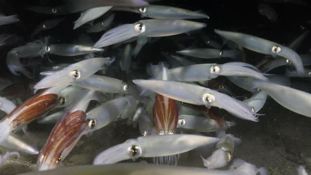 market squid aggregation in redondo beach - life cycle stock videos & royalty-free footage