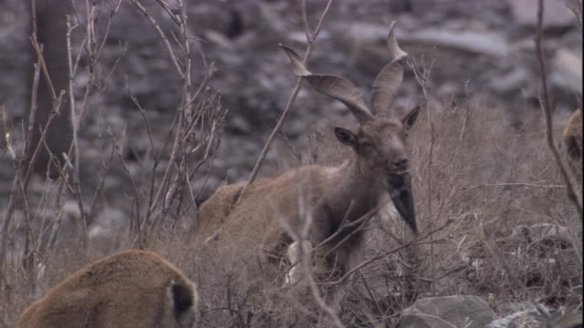 a markhor browses on a dry mountain landscape. available in hd. - goat stock videos & royalty-free footage