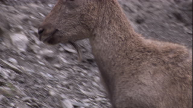 a markhor forages on a scree slope, pakistan available in hd. - goat stock videos & royalty-free footage