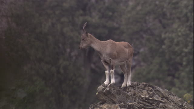 a markhor stands on a high rock and looks around. available in hd. - cliff stock videos and b-roll footage