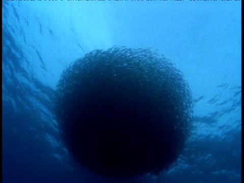 Marlin attacks bait ball, Mexico