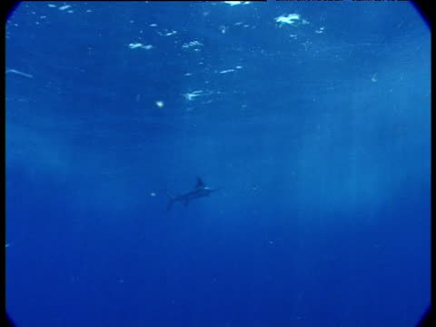 marlin swims past camera raising and lowering its dorsal fin, venezuela - dorsal fin stock videos & royalty-free footage