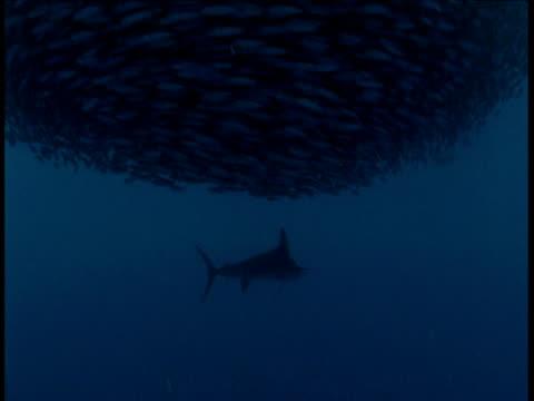 Marlin swims underneath baitball, Mexico