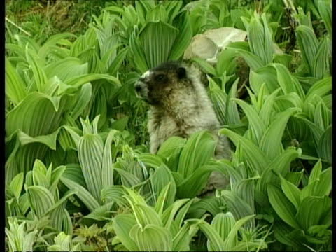 MCU Marmot amongst plants, stands up eating, Arctic circle