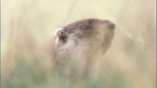 Marmot calls in long grass, Mongolian steppe