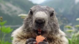 Marmot eating carrot on the background of Furkapass