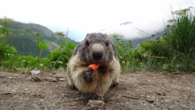 vidéos et rushes de marmotte mangeant la carotte sur l'arrière-plan de furkapass - one animal