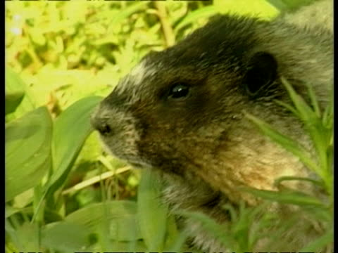 cu marmot eating in grass, arctic circle - marmot stock videos & royalty-free footage