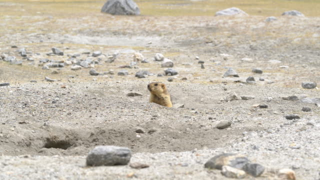 marmot in the nature - marmot stock videos & royalty-free footage