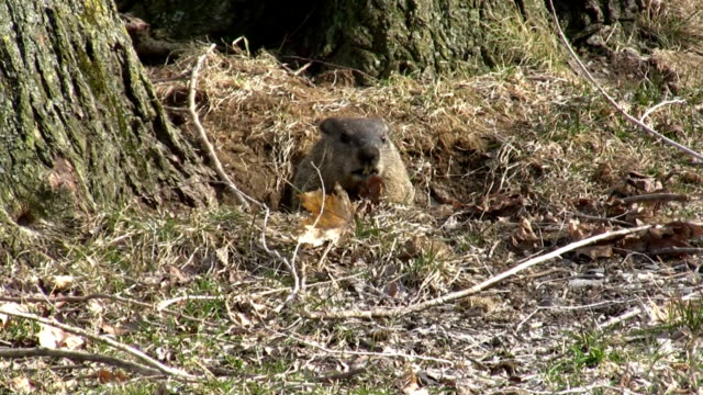 Marmot leaving its den