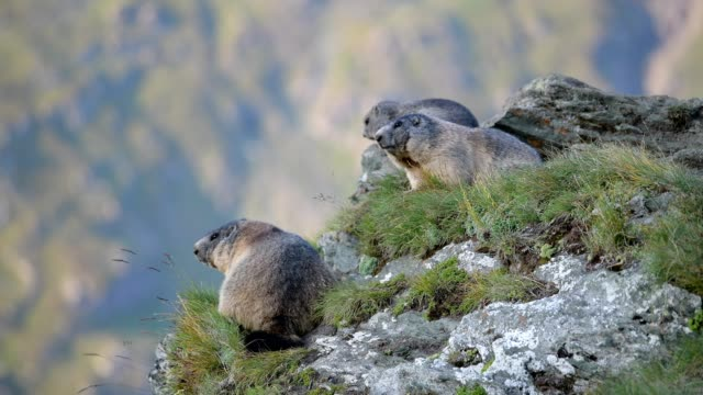 Marmot, Marmota marmota, in the European Alps