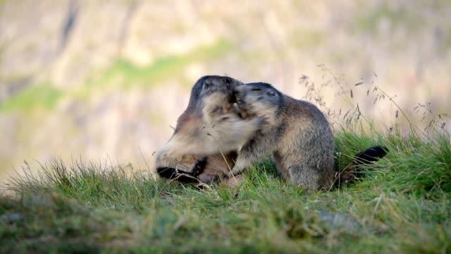 vídeos y material grabado en eventos de stock de marmot, marmota marmota, in the european alps - luchar