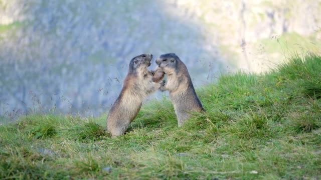 marmot, marmota marmota, in the european alps - fight stock videos & royalty-free footage