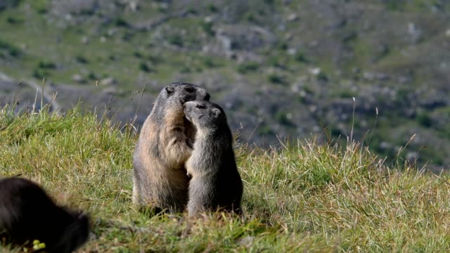 marmot, marmota marmota, in the european alps - roditore video stock e b–roll