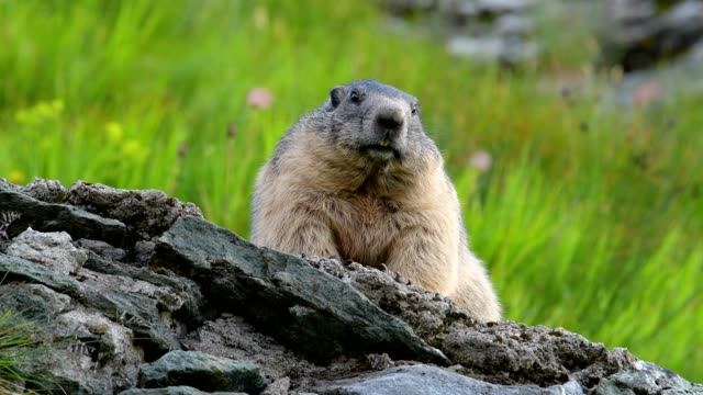 Marmot, Marmota marmota, in the European Alps