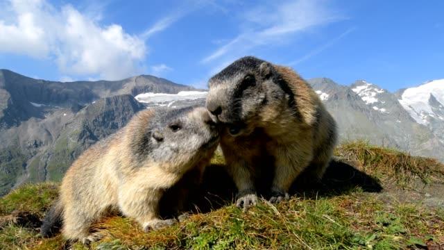 marmot, marmota marmota, in the european alps - two animals stock videos & royalty-free footage