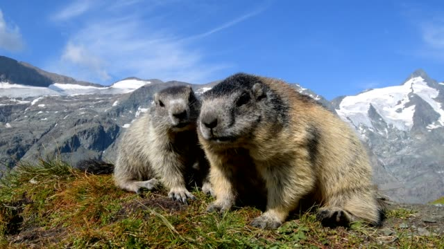 marmot, marmota marmota, in the european alps - young animal stock videos & royalty-free footage