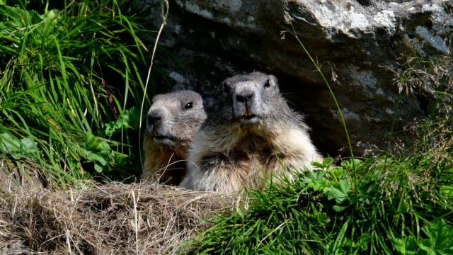 vídeos de stock, filmes e b-roll de marmot, marmota marmota, in the european alps - dois animais