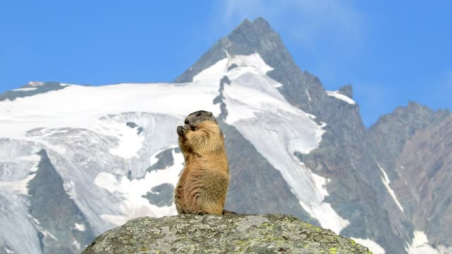 marmot, marmota marmota, in the european alps - austria stock videos & royalty-free footage