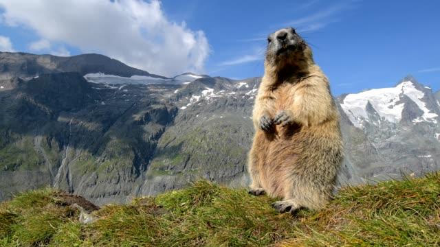 vidéos et rushes de marmot, marmota marmota, in the european alps - animal hair
